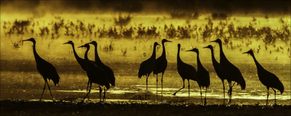 sandhillcranes_sunset